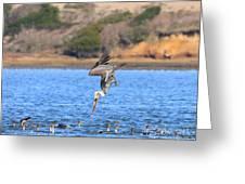 Brown Pelican Diving Greeting Card