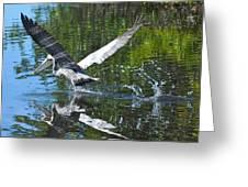 Brown Pelican Taking Off Greeting Card