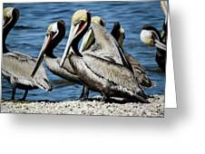 Brown Pelicans Preening Greeting Card