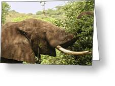 Browsing Elephant Greeting Card