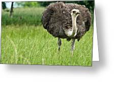 Browsing Ostrich Greeting Card