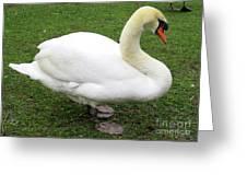 Bruges Swan 1 Greeting Card