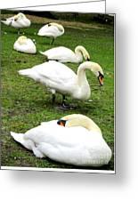 Bruges Swans 2 Greeting Card
