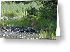 Buck In Pond Greeting Card