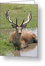 Buck Greeting Card