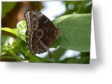Buckeye Butterfly Greeting Card