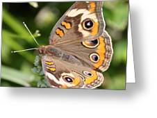 Buckeye Butterfly Square Greeting Card