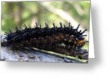Buckeye Caterpillar Greeting Card