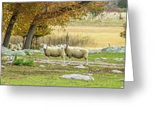 Bucolic Sheep In Mystic  Greeting Card