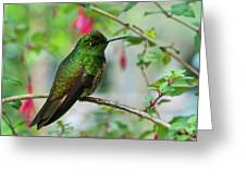 Buff-tailed Coronet Greeting Card