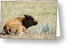 Buffalo Calf Greeting Card