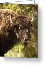 Buffalo Cow Greeting Card