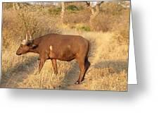 Buffalo Crossing Greeting Card