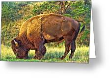 Buffalo Custer State Park  Greeting Card