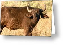 Buffalo Encounter Greeting Card