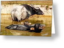 Water Buffalo Family Portrait Greeting Card