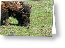 Buffalo Grazing Greeting Card