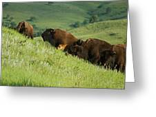 Buffalo On Hillside Greeting Card