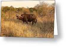 Buffalo On Safari Greeting Card