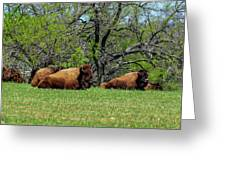 Buffalo Resting In A Field Greeting Card