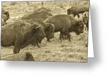 Buffalo Roaming Greeting Card