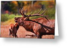 Bugling Elk In Autumn Greeting Card