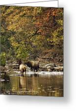 Bull And Cow Elk In Buffalo River Crossing Greeting Card