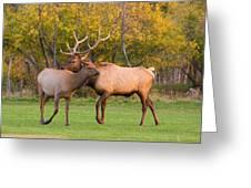 Bull And Cow Elk - Rutting Season Greeting Card