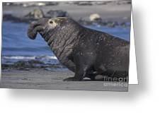 Bull Elephant Seal Greeting Card