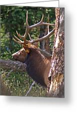 Bull Elk 2 Greeting Card