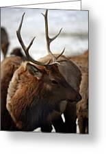 Bull Elk At Hardware Ranch 2 Greeting Card