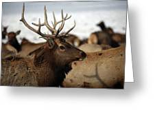 Bull Elk At Hardware Ranch Greeting Card