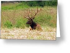 Bull Elk At Rest Greeting Card