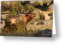 Bull Elk Bugling Among The Rocks Greeting Card