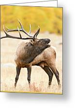 Bull Elk Bugling In The Fall Greeting Card