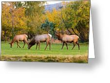 Bull Elk  Bugling With Cow Elks - Rutting Season Greeting Card