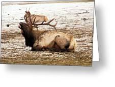 Bull Elk Calls Out Greeting Card