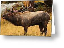 Bull Elk Has Been Wallowing Greeting Card