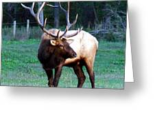 Bull Elk II Greeting Card