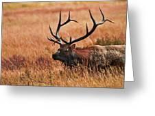 Bull Elk In A Field Greeting Card