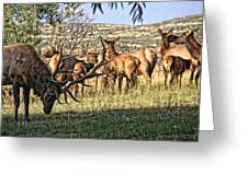 Bull Elk In Point Greeting Card