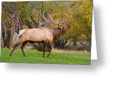 Bull Elk In Rutting Season Greeting Card
