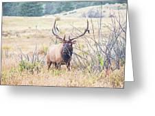 Bull Elk In The Rain Greeting Card