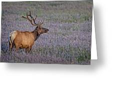 Bull Elk In Velvet Greeting Card