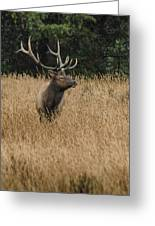 Bull Elk In Yellowstone Greeting Card