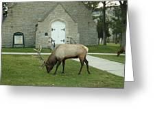 Bull Elk On The Church Lawn Greeting Card