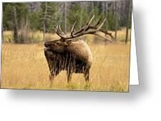 Bull Elk Sideview Greeting Card