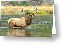 Bull Elk Wading The Madison River Greeting Card