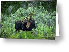 Bull Moose In The Bushes Greeting Card