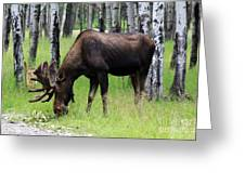 Bull Moose In The Woods  Greeting Card